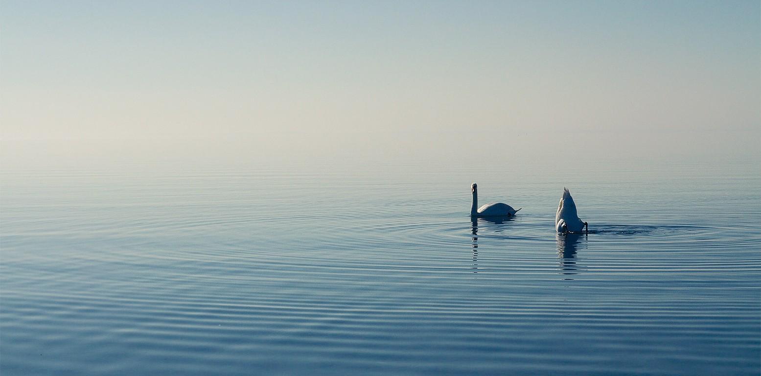 Blue Swans
